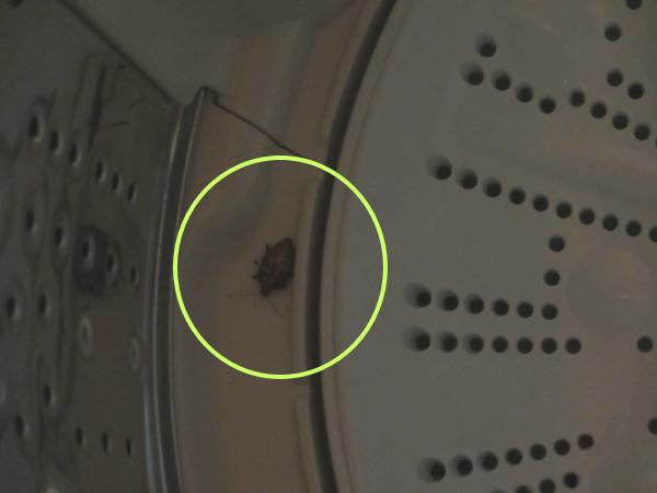 洗濯槽にカメムシ