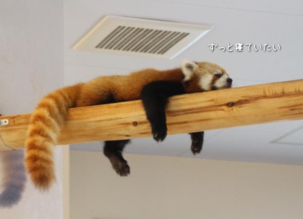 ナマケモノのレッサーパンダ