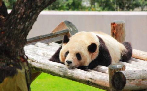 寝転ぶパンダ