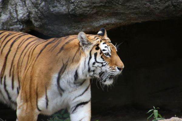 タイガー(トラ)